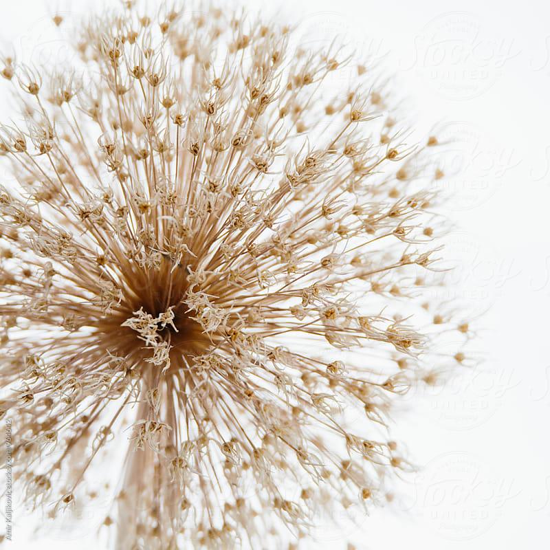Macro of dry dandelion by Amir Kaljikovic for Stocksy United
