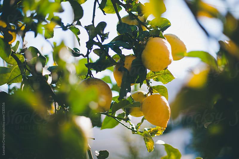Yellow fresh lemons on tree by Leandro Crespi for Stocksy United