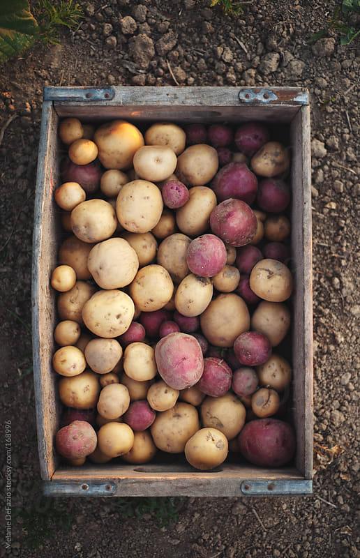 potatoes by Melanie DeFazio for Stocksy United