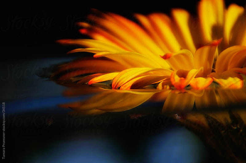 Floating Red And Yellow Gerbera Daisy by Tamara Pruessner for Stocksy United