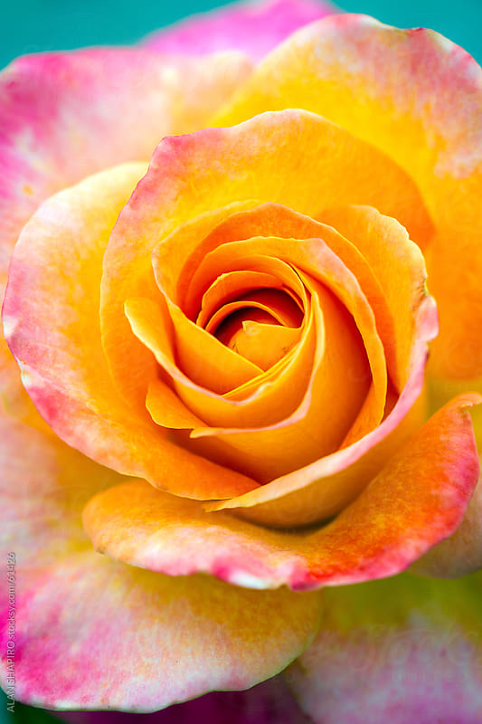 Multicolored rose by ALAN SHAPIRO for Stocksy United