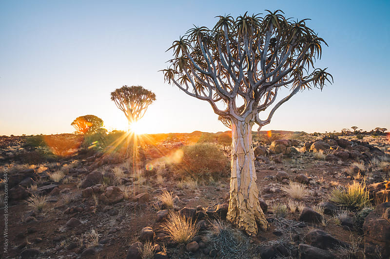 Namibian Quiver Tree forest at sunset by Micky Wiswedel for Stocksy United