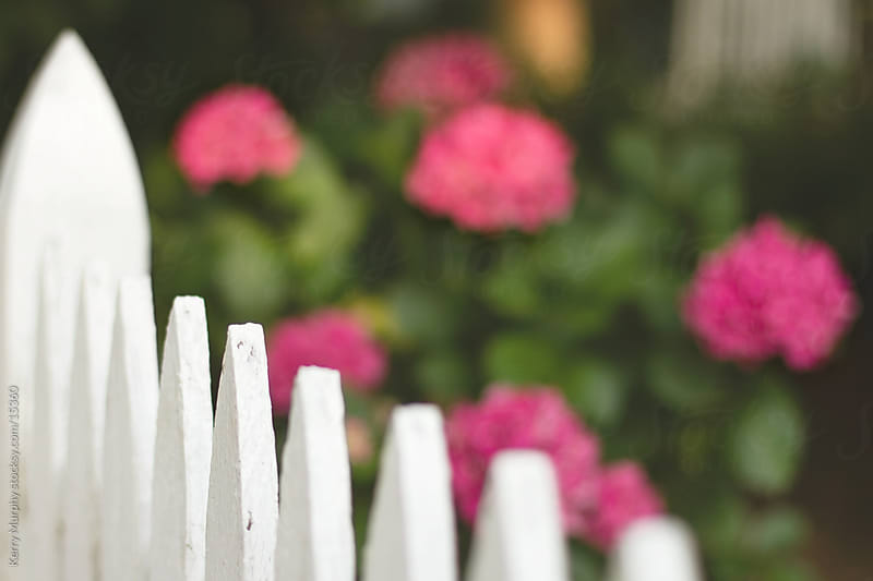 White picket fence with pink flowers by Kerry Murphy for Stocksy United