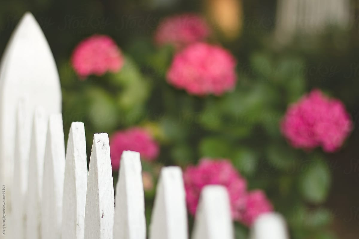White picket fence with pink flowers stocksy united white picket fence with pink flowers by kerry murphy for stocksy united mightylinksfo