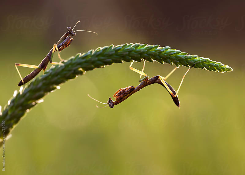 Pair of Praying Mantis Insects by Brandon Alms for Stocksy United