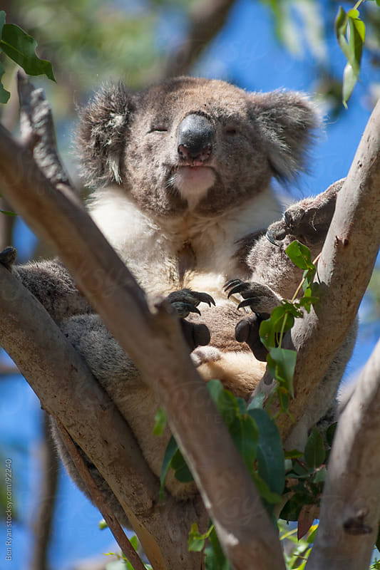 Adult koala dozing in the fork of two branches by Ben Ryan for Stocksy United