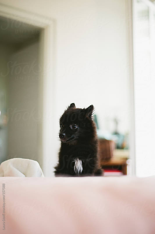 Cute black spitz sits on bed in bright bedroom by Laura Stolfi for Stocksy United