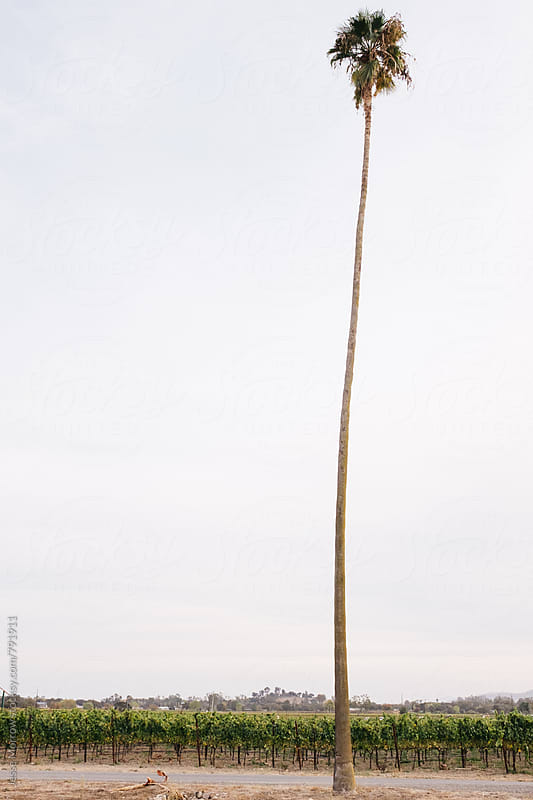 single palm tree in vineyard by Jesse Morrow for Stocksy United