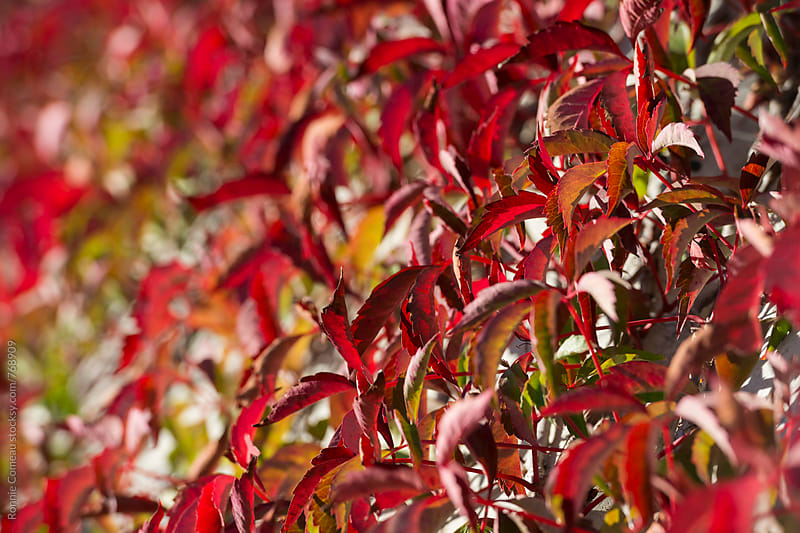 Red Leaves Of Ivy by Ronnie Comeau for Stocksy United