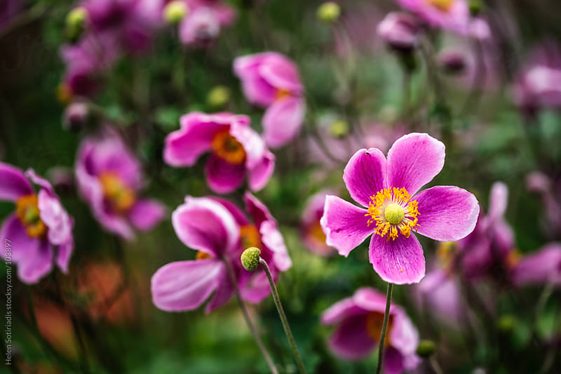 Pink anemone flowers by Helen Sotiriadis for Stocksy United