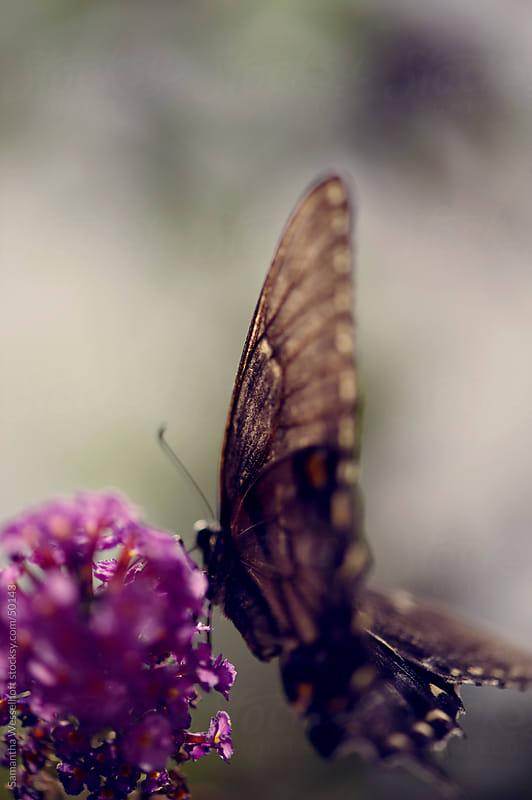 black butterfly on butterfly bush macro by Samantha Wesselhoft for Stocksy United