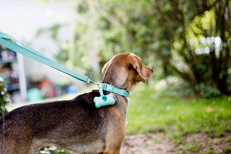 Rear sight of dog on the leash in sunny outdoors by Laura Stolfi for Stocksy United