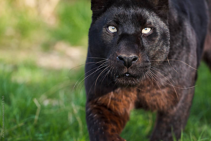 Black leopard (panther) by Alex Hibbert for Stocksy United