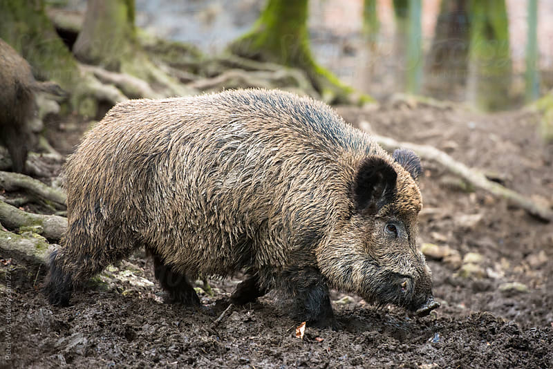 Wildlife: Wild boar (lat. Sus scrofa) by Peter Wey for Stocksy United