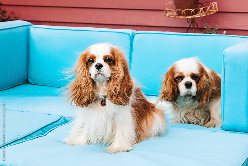 Two Cavalier King Charles Spaniels sitting on sofa. by J Danielle Wehunt for Stocksy United