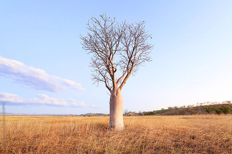 Boab tree. Wyndham. Western Australia. by John White for Stocksy United