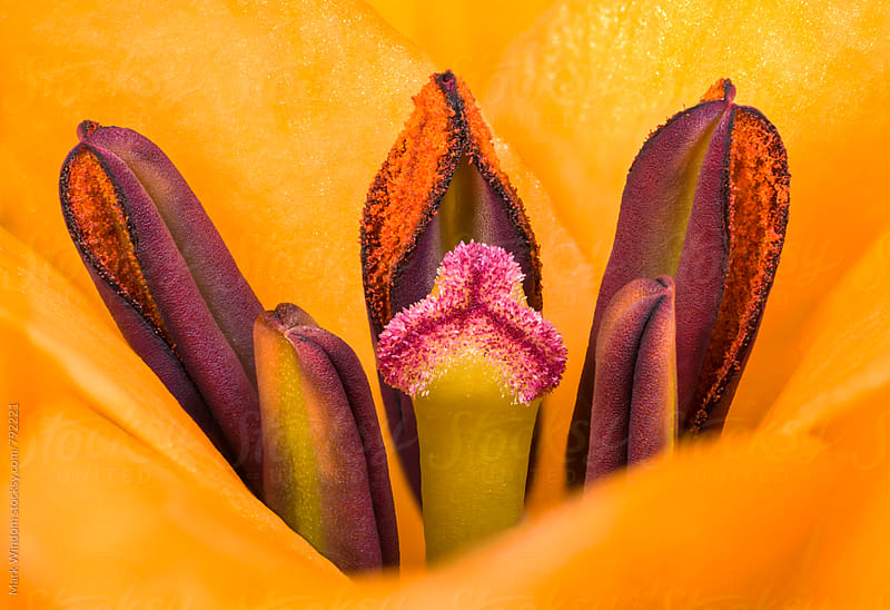 Lily pistil and stamens, closeup by Mark Windom for Stocksy United