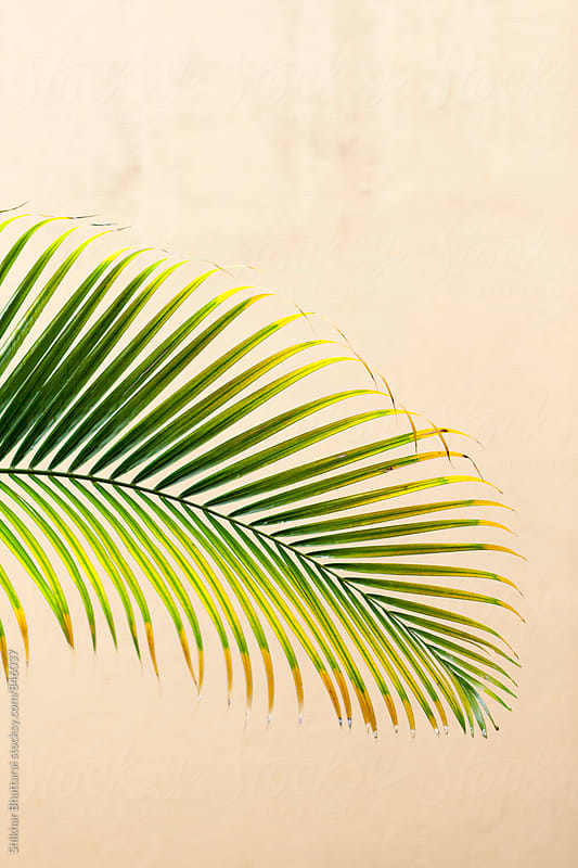 palm leaf. by Shikhar Bhattarai for Stocksy United