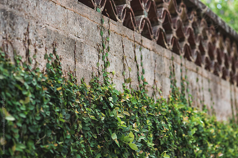 Ivy Creeps Up An Old Wall by Alison Winterroth for Stocksy United