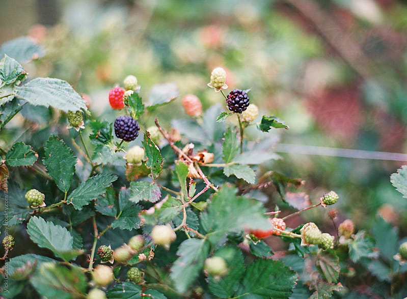 Berries on the vine  by Vicki Grafton Photography for Stocksy United