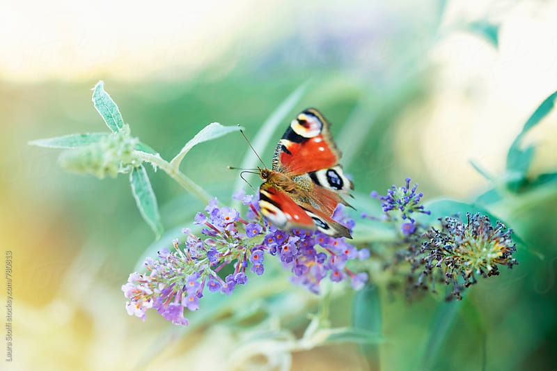 Butterfly perching on purle buddleia flower and sunshine by Laura Stolfi for Stocksy United