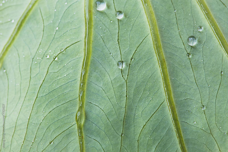 bead on the taro leaf by zheng long for Stocksy United