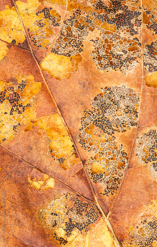 Decaying maple leaf, closeup by Mark Windom for Stocksy United