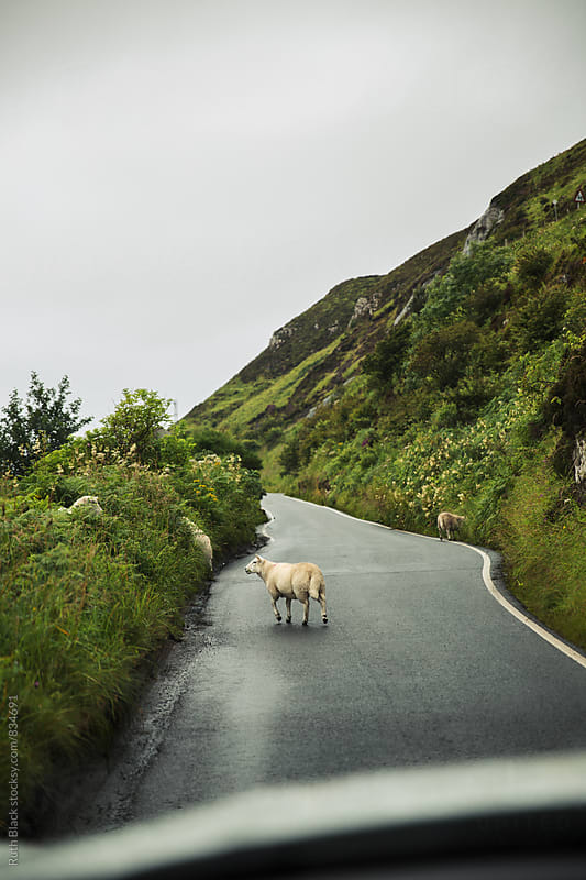 Sheep on the road by Ruth Black for Stocksy United