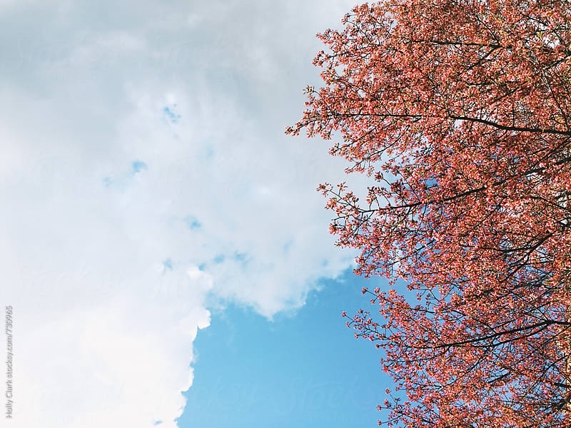 Beautiful Pink Cherry Blossom Branches against a Bright Blue Sky by Holly Clark for Stocksy United