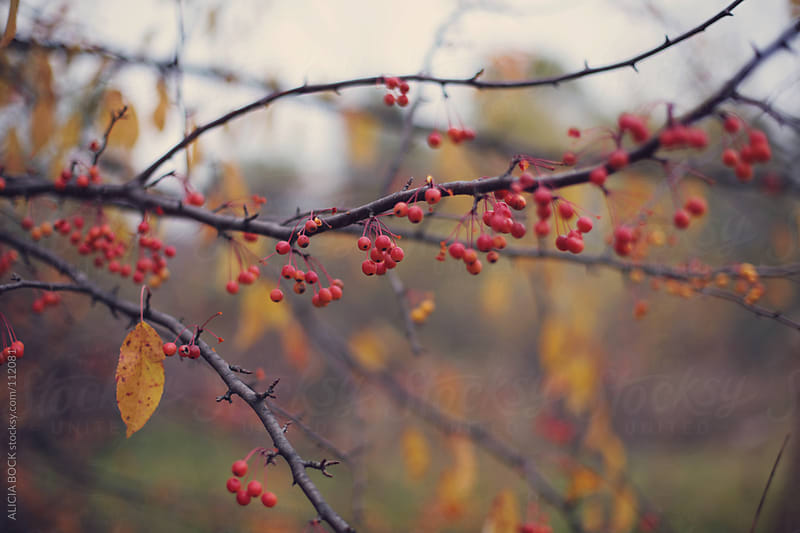 Red Berries On An Autumn Tree by ALICIA BOCK for Stocksy United