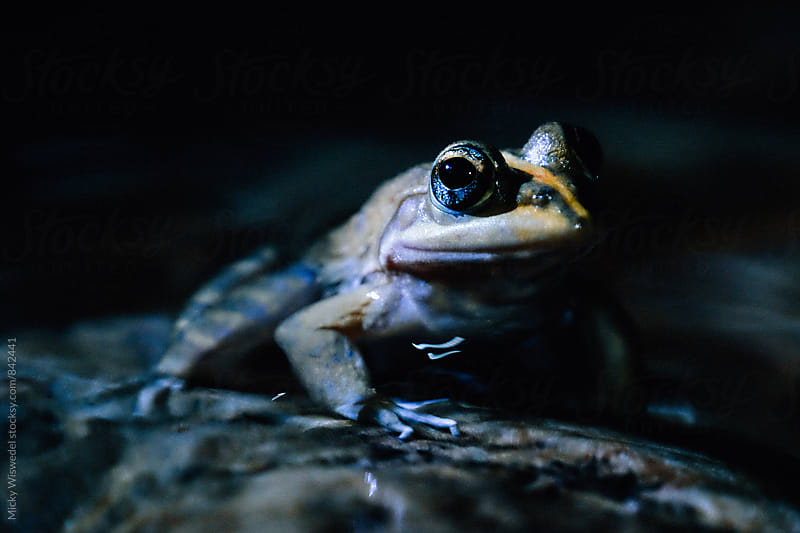Cape River Frog photographed in a fresh water pool at night by Micky Wiswedel for Stocksy United