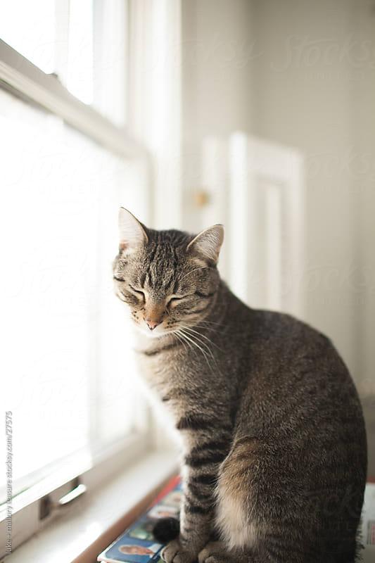 Grey kitty sitting by a window by luke + mallory leasure for Stocksy United
