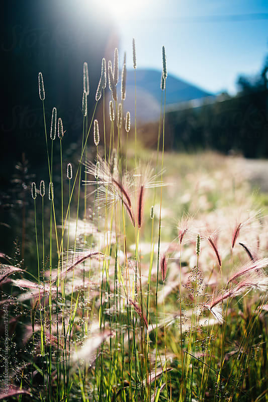 Roadside weeds in late afternoon sun by Angela Lumsden for Stocksy United