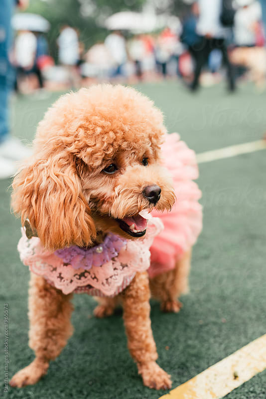 Poodle dog wearing pink skirt by Xunbin Pan for Stocksy United