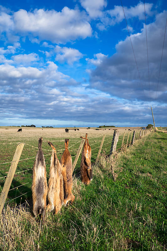 Fox Hunter's Trophy Fence by Rowena Naylor for Stocksy United