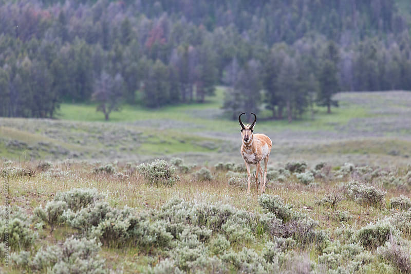 Pronghorn antelope in the wilderness by michela ravasio for Stocksy United