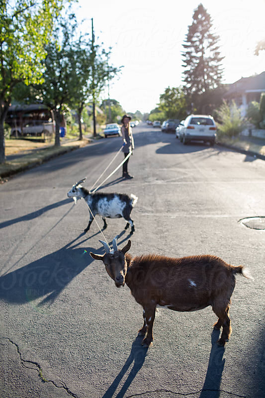 Funny goats on a leash in the street by michela ravasio for Stocksy United