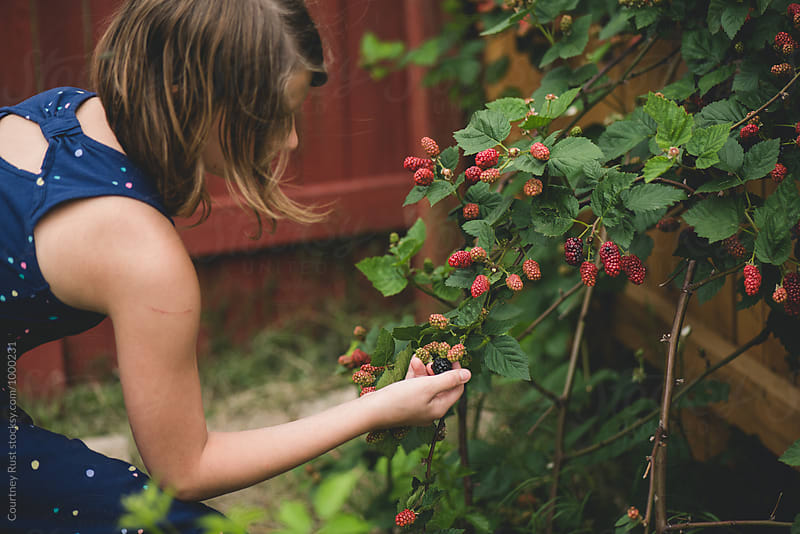 Young girl picking blackberries from bush by Courtney Rust for Stocksy United