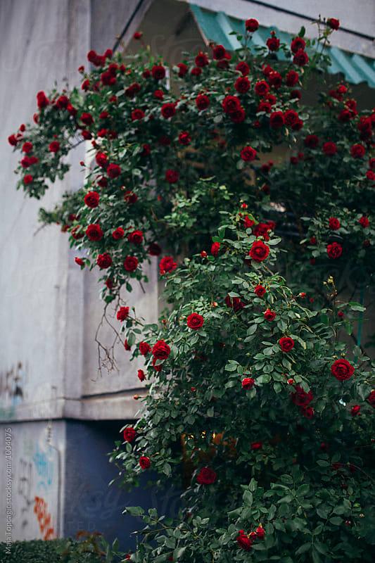 Rose garden by Maja Topcagic for Stocksy United