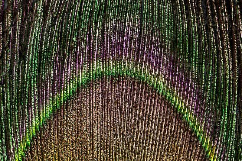 Close-up of a Peacock feather by Adam Nixon for Stocksy United