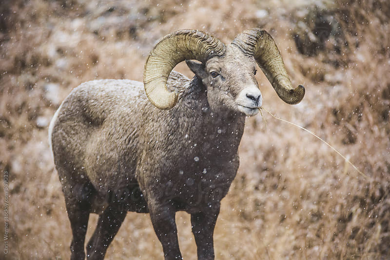 Bighorn sheep by Chris Werner for Stocksy United