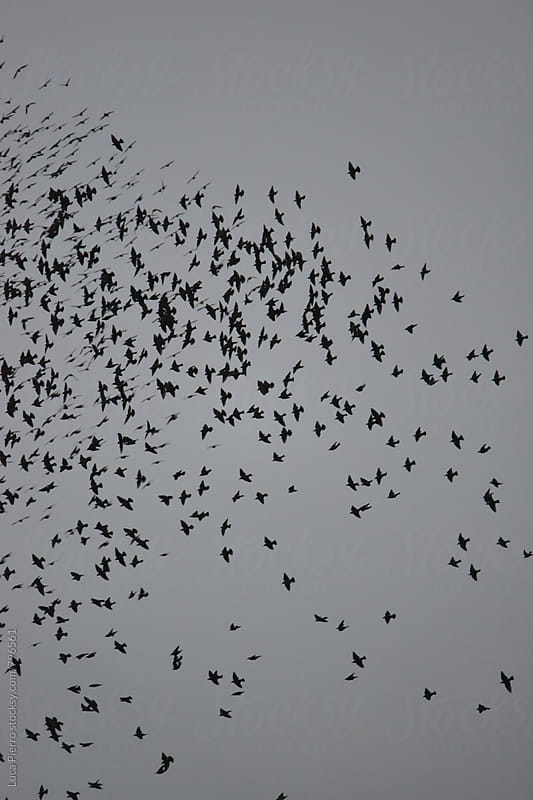 Flock of birds forming patterns  in the sky by Luca Pierro for Stocksy United