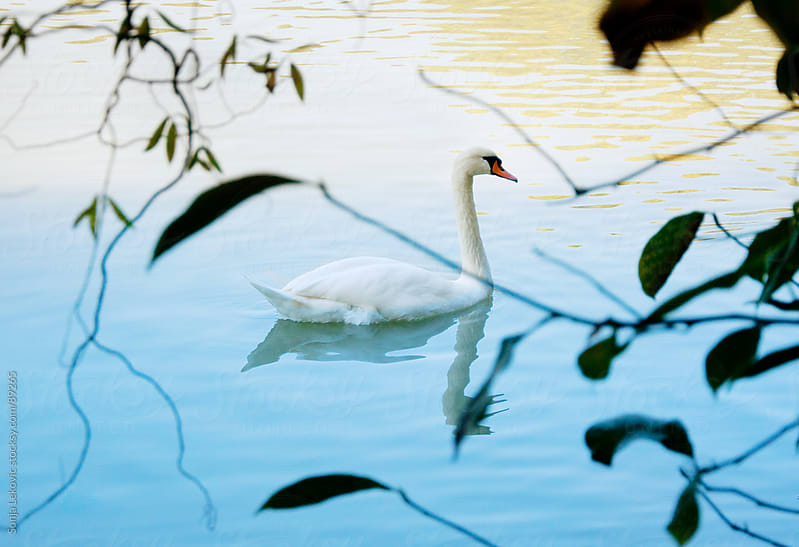 swan in a lake by Sonja Lekovic for Stocksy United