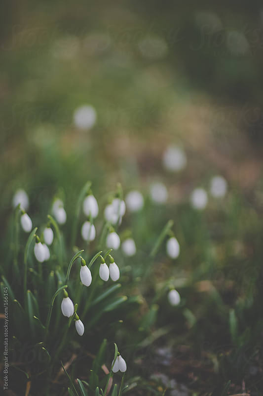 Snowdrops by Török-Bognár Renáta for Stocksy United