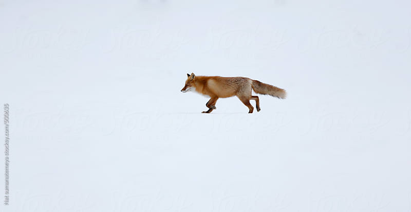 Red fox in snow by Nat sumanatemeya for Stocksy United