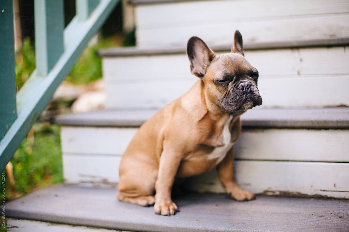 A Brown French Bulldog Puppy Sitting On Stairs Outside Por J Danielle Wehunt Stocksy United