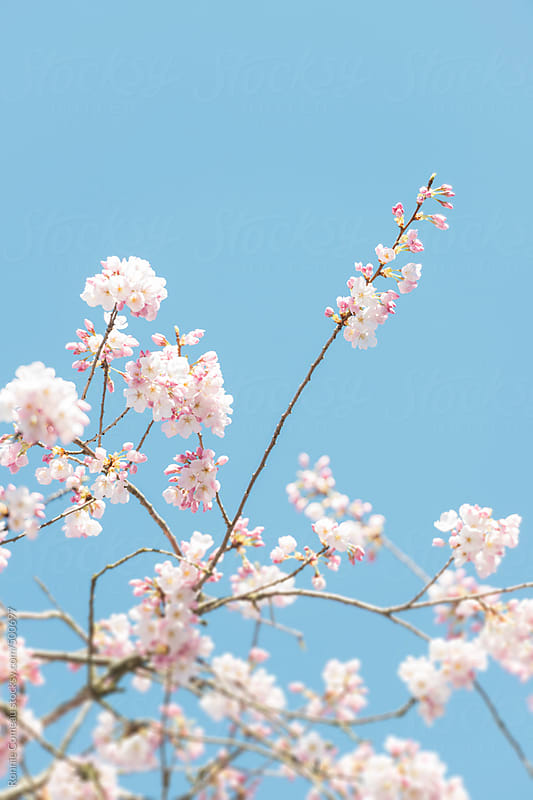 Spring Cherry Blossoms by Ronnie Comeau for Stocksy United