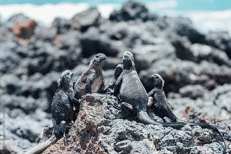 Galapagos Marine Iguanas Having a Meeting by Richard Brown for Stocksy United