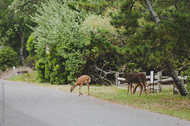 Deer crossing the road by Lauren Naefe for Stocksy United