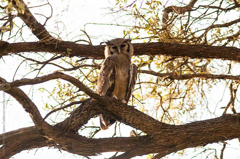 Owl on a branch in Masai Mara National Park, Kenya by Marta Muñoz-Calero Calderon for Stocksy United